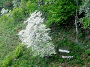 樹齢300年のゴヨウツツジ