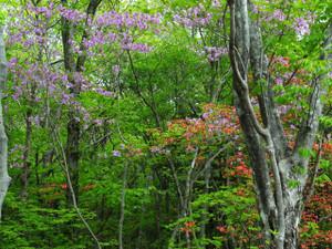 平成の森園路に咲くつつじ